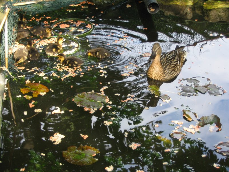 Croydon ducks ducklings 2008 for Settlement tank for koi pond