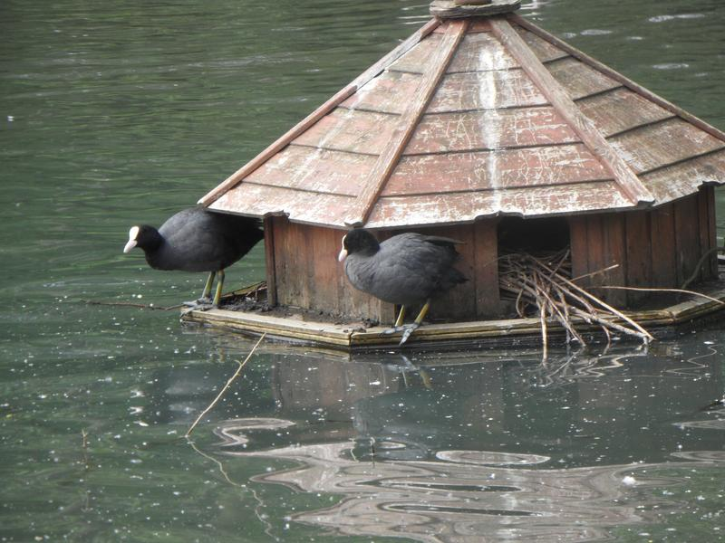 Croydon ducks millers pond 2015 for Build your own duck house